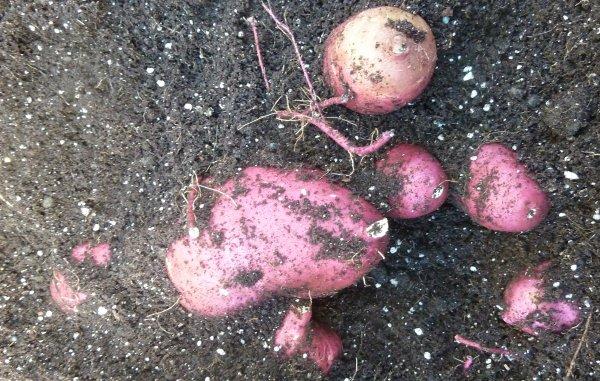 topraktaki-tatli-patates